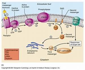 Ch 16 Hormone Biochemistry