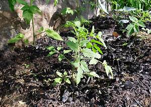 Tomatenblätter Rollen Sich Ein : tomatenanbau tomaten auf einem mit holzasche gemulchten ~ Lizthompson.info Haus und Dekorationen