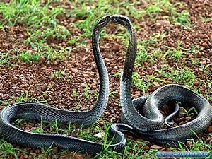 King Cobra Snake Photos | Fog HD Wallpaper