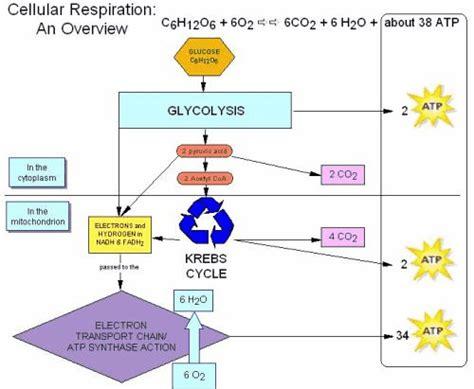 glycolysis confessions   biochemian