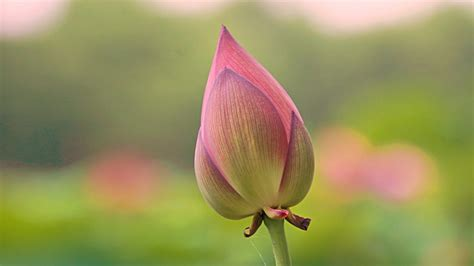 high resolution picture  lotus flower bud  close