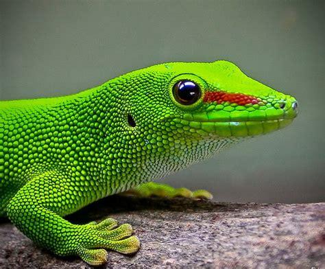 gecko lizard hidden unseen most colorfull lizards