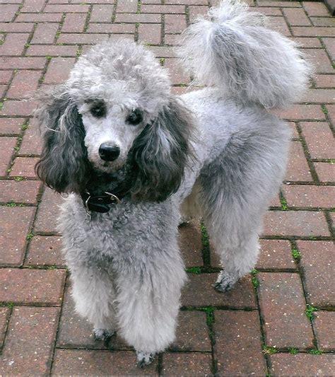 kc reg silver  blue miniature poodle puppies bedale