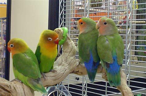 internet world best place to buy love birds and