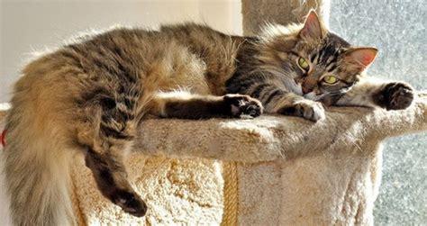 conseils pour faire face  la mue du chat au printemps