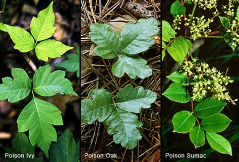pictures of poison pictures of poison ivy oak and sumac rashes and plants