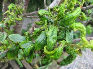 Aphids Fruit Trees