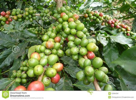 Coffee Plants In Dalat, Vietnam Royalty Free Stock Image Unbreakable Glass Coffee Mugs Jokes Pictures Emergency Dad Mug Free Grinder Stain Navy Science International Day