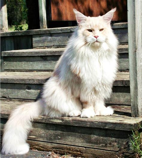 katzenbesitzerin postet bilder von ihrer extrem grossen und