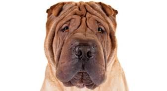 shar pei breed information american kennel club