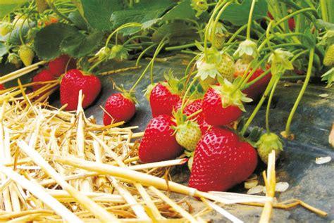 erdbeeren remontierende sorten samenhandel