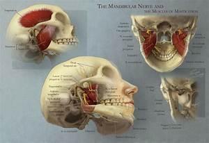 Mandibular Nerve And The Muscles Of Mastication  U2013 Art As
