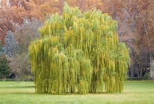 Taille Du Saule Pleureur : saule planter et tailler ooreka ~ Melissatoandfro.com Idées de Décoration