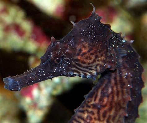seahorse head scribol female leafy little aquarium