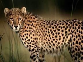 cheetah cat cheetah