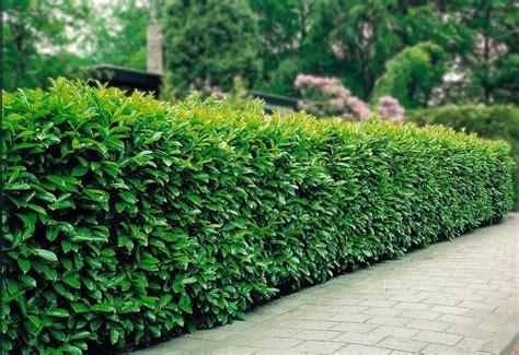 pflanzen für hecke bcm hecke 187 kirschlorbeer 171 2 10 12 20 24 50 oder 100 pflanzen im set kaufen otto