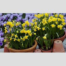 Alan Titchmarsh Tips On Growing Daffodils  Garden  Life & Style Expresscouk