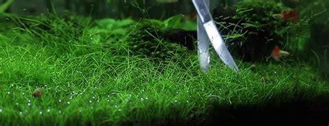 Hair Grass Aquascape by Eleocharis Parvula Hairgrass Carpets Made Easy