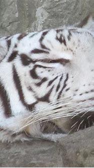 Texas White Tiger Sleeping Like A Lamb Photograph by Shawn ...