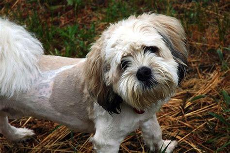 adopt  shih tzu poodle mix