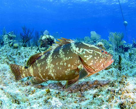 grouper nassau bahamas endangered protected fish reef vulnerable groupers coral florida threats reefs