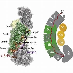 Essential Structural And Functional Roles Of The Cmr4