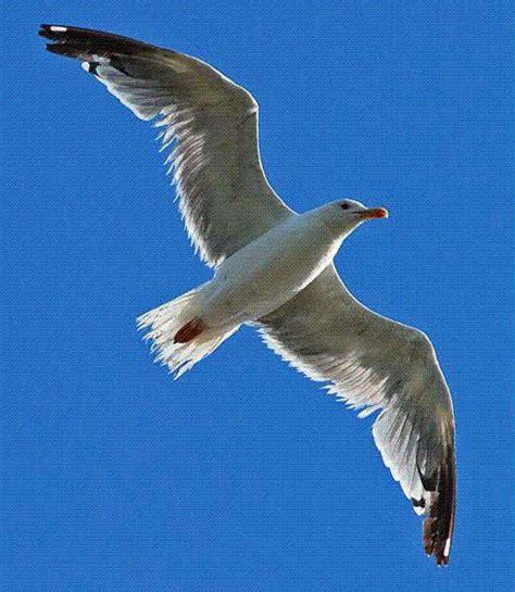 Gabbiano Sul Mare - un gabbiano libero su attenzione fragile