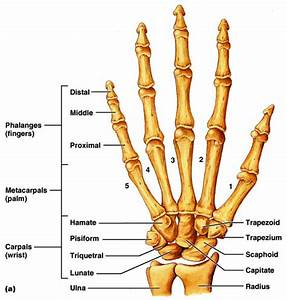 Hand Bones Diagram