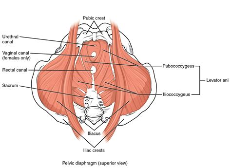 axial muscles of the abdominal wall and thorax 183 anatomy