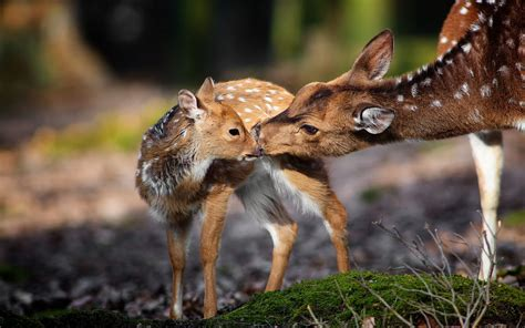 Animal Deer Wallpaper - beautiful wallpapers deer wallpaper