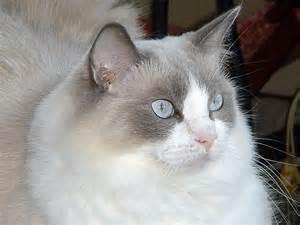 ragdoll cats for ragdoll cat feline carpet breeders cats