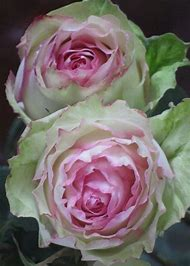 Green and Pink Roses