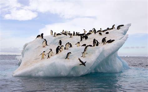 antarctica penguin population  drop