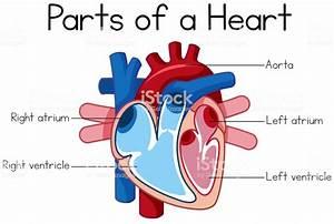 Parts Of Heart Diagram Stock Illustration