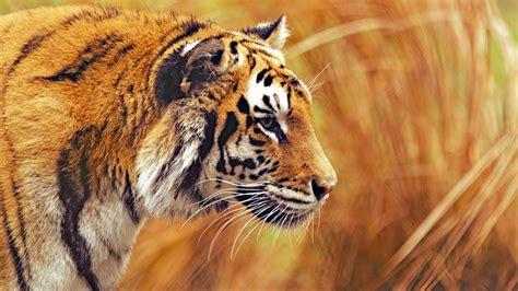 wallpaper bengal tiger   wallpaper grass yellow
