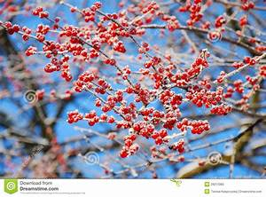 Baum Mit Roten Beeren : raureif auf winterbaum mit roten beeren stockbild bild von rauhreif kalt 29213365 ~ Markanthonyermac.com Haus und Dekorationen