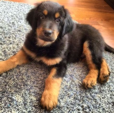 No Shedding Dog Breed by Hovawart Dog Info Temperament Puppies Pictures