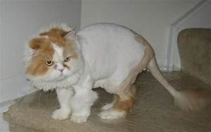 Thinking Of Shaving Your Cat And Giving Him A Lion Cut