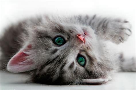 gatti alimentazione alimentazione gattini cibo gatti alimentazioni gattini