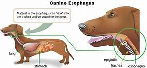 Medical Monday  What Is Megaesophagus And Why Is It Dangerous