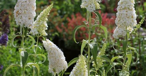 drought tolerant plants clay soil spring 2015 buddleja davidii white profusion tolerant of heat drought clay and poor