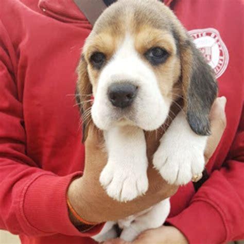 beagle puppies  sale
