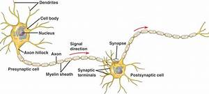 2 85 Nerve Cells And Synapses  A  Understanding For Igcse
