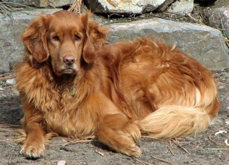 Ask A Vet Why Does My Golden Retriever Stink Montreal