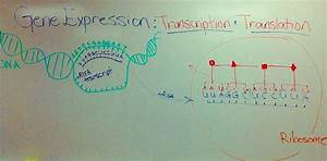 Nucleic Acid Function  Dna Replication  Transcription