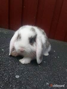 J U00e4ttegoa Kaniner Till Salu    - Mora