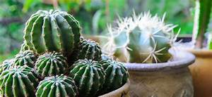 Cactus Sans Epine : cactus ooreka ~ Melissatoandfro.com Idées de Décoration