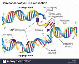 in semiconservative dna replication an existing dna With semiconservative replication involves a template what is the template