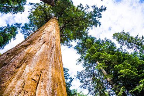einen baum zur hochzeit schenken mammutbaum setzling