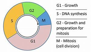 The Cell Cycle - Phases - Mitosis